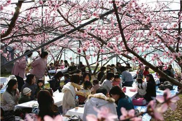 不只有櫻花 春季必看日本六大花卉慶典